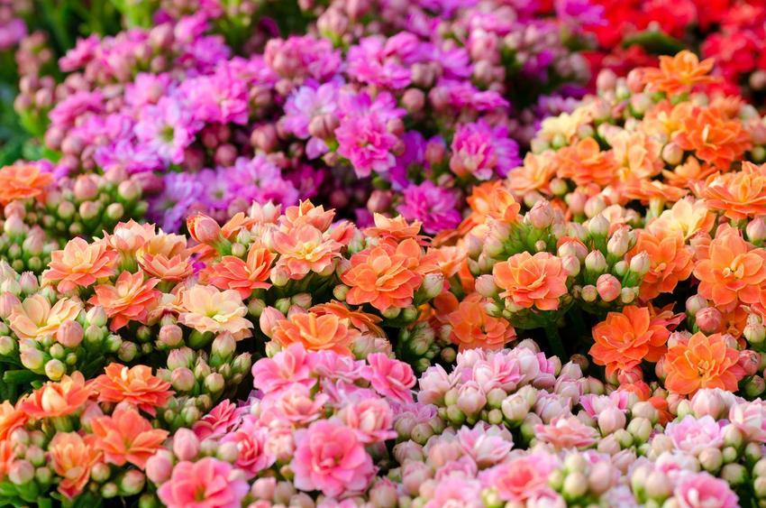 Kalanchoe, czyli żyworódka w czasie kwitnienia na różne kolory oraz odmiany i gatunki kalanchoe na kwiaty doniczkowe