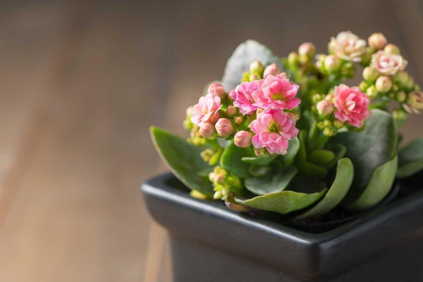Kalanchoe, czyli żyworódka w doniczce w czasie kwitnienia oraz odmiany, uprawa, rozmnażanie kalanchoe, a także porady jak dbać o kwiaty doniczkowe