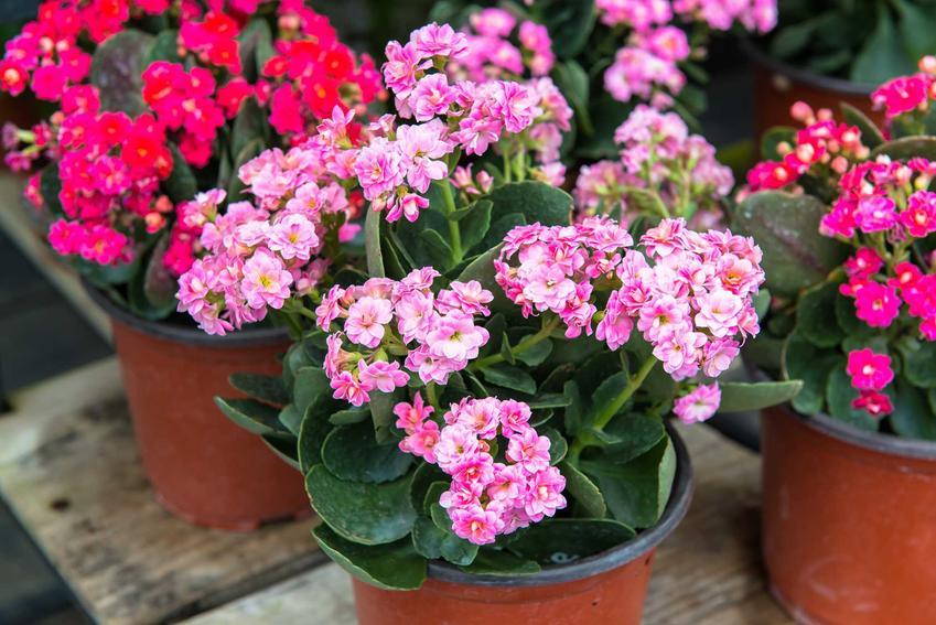 Kalanchoe, czyli żyworódka w doniczkach w czasie kwitnienia oraz odmiany kalanchoe, a także porady jak dbać o kwiaty doniczkowe