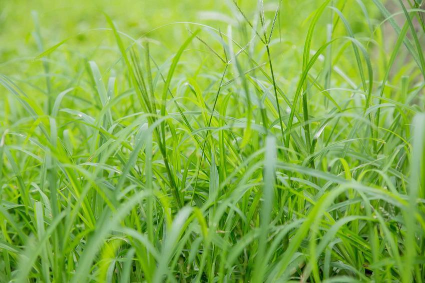 Mietlica pospolita z łaciny Agrostis capillaris, nazywana też trawa pospolita na nasiona trawy oraz zastosowanie