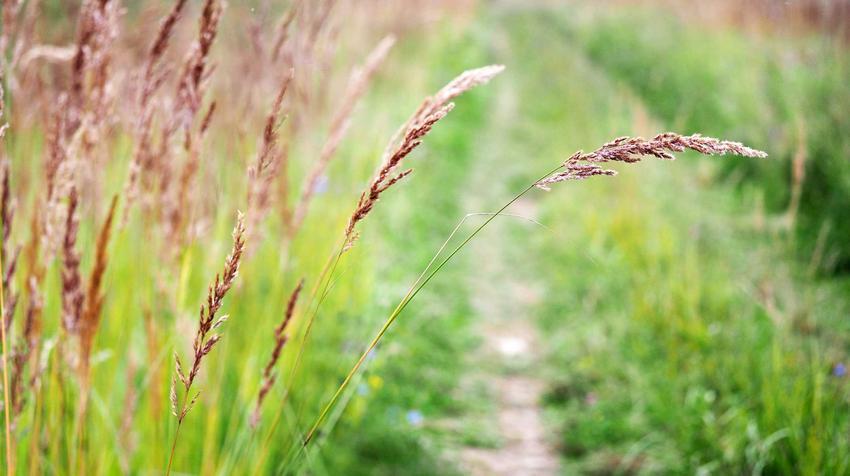 Kostrzwa czerwona, czyli trawa rozłogowa z łaciny Festuca rubra oraz jej zastosowanie, uprawa i nasiona trawy