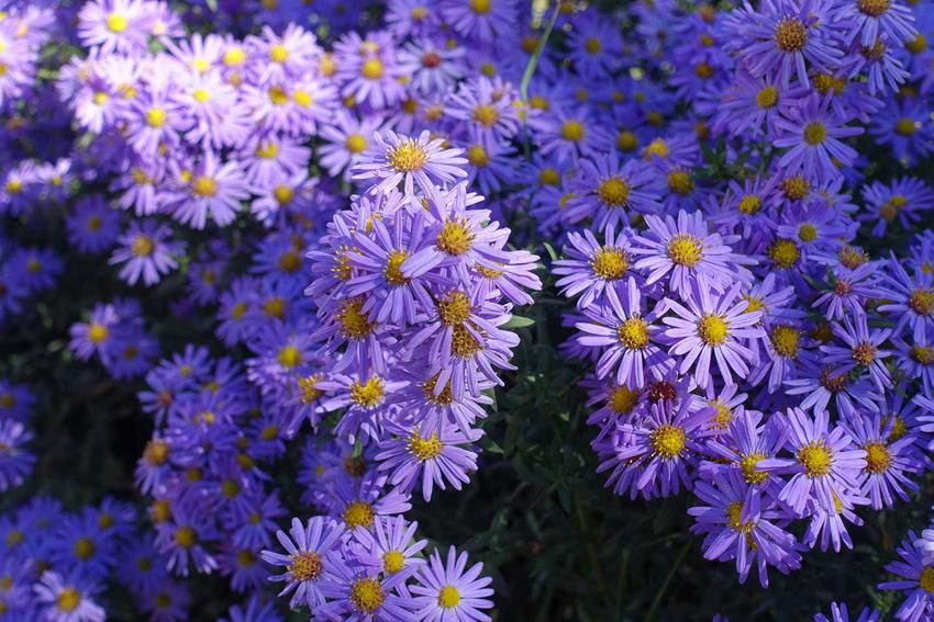Aster nowobelgijski w czasie kwitnienia oraz jego odmiany i sadzonki, czyli astry nowobelgijskie w ogrodzie