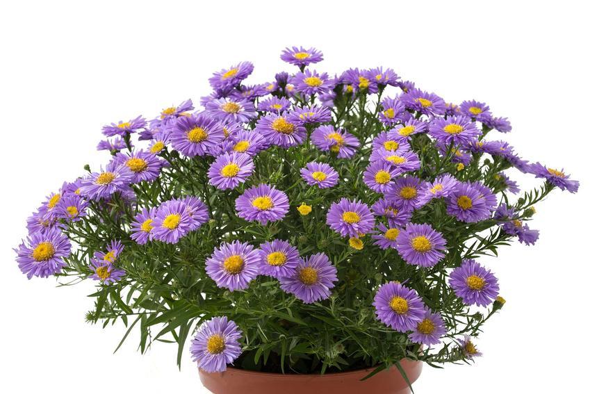 Aster nowobelgijski w doniczce w czasie kwitnienia oraz odmiany i sadzonki, a także astry nowobelgijskie w ogrodzie