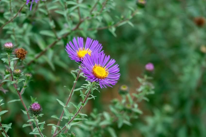 Aster nowoangielski z łaciny aster nova-angliae w czasie kwitnienia w ogrodzie oraz astry jesienne i astry nowobelgijskie i ich uprawa i pielęgnacja