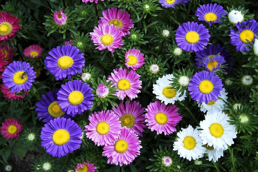 Kompozycja z astrów, czyli astry marcinki, kwiaty wieloletnie w czasie kwitnienia oraz ich polecane gatunki i popularne odmiany