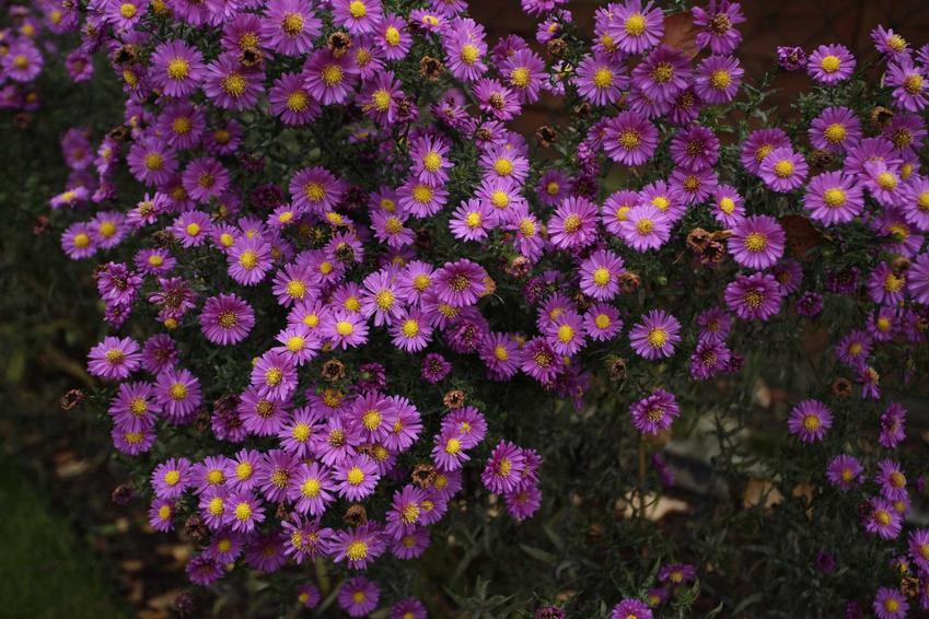 Astry marcinki w czasie kwitnienia, czyli fioletowe wieloletnie astry w ogrodzie oraz ich polecane gatunki i odmiany