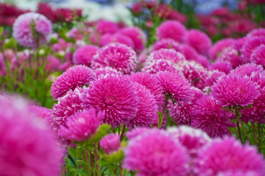 Astry wieloletnie, czyli astry bylinowe lub marcinki w czasie kwitnienia na różowo oraz ich uprawa i pielęgnacja