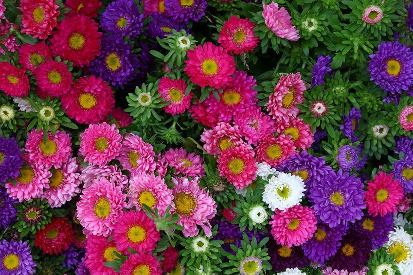 Astry wieloletnie, czyli astry bylinowe w czasie kwitnienia na różne kolory oraz ich uprawa i pielęgnacja
