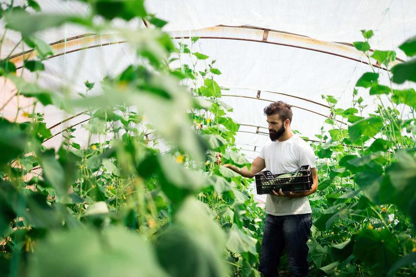 Plantacja ogórków, z której mężczyzna zbiera plony, czyli uprawa ogórków gruntowych czy też uprawa ogórków w gruncie