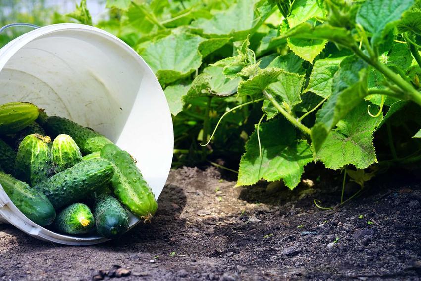 Plantacja ogórków, czyli sadzenie ogórków i choroby ogórków, a także uprawa ogórków gruntowych czy też uprawa ogórków w gruncie