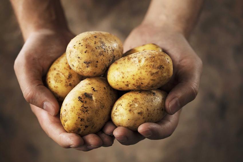 Wartości odżywcze ziemniaków oraz ich właściwości, a także odmiany ziemniaków jadalnych najbardziej popularne w Polsce