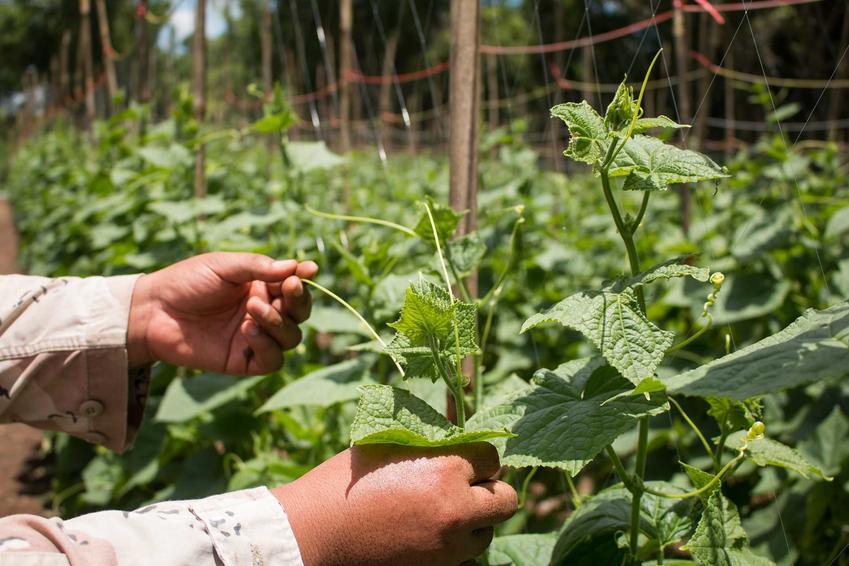 Uprawa ogórków i choroby ogórków na liściach, a także choroby grzybowe i ich zwalczanie krok po kroku oraz najlepsze preparaty
