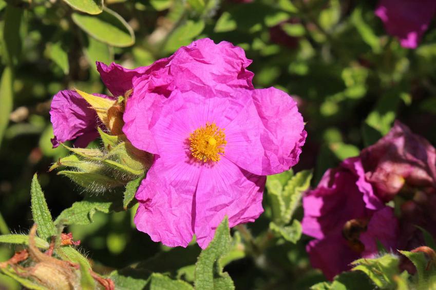Czystek kreteński Cistus creticus w czasie kwitnienia oraz zielona herbata z czystka kreteńskiego i olejek z czystka oraz ich właściwości