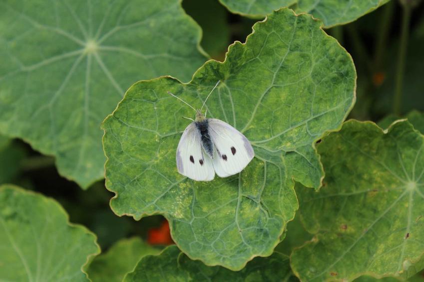 Bielinek kapustnik na liściu, czyli motyl kapustnik lub motyl bielinek oraz gąsienica bielinka i ich zwalczanie
