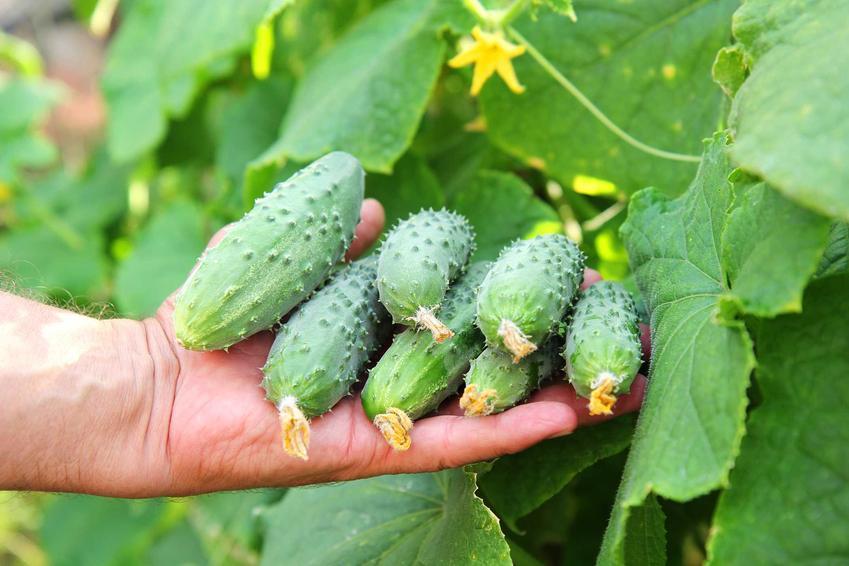 Ogórek siewny i uprawa ogórków siewnych, w tym odmiany i siew ogórków oraz porady, jak uprawiać ogórki gruntowe