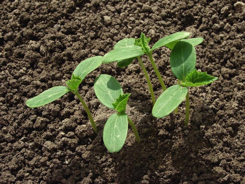 Ogórek siewny w czasie wzrostu i uprawa ogórków siewnych, w tym odmiany i siew ogórków oraz porady, jak uprawiać ogórki gruntowe