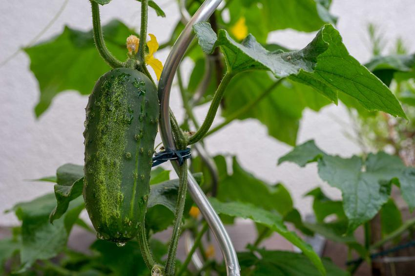 Dojrzały ogórek gruntowy i wysiew ogórków lub sadzenie ogórków w ogrodzie oraz informacje, kiedy siać ogórki gruntowe