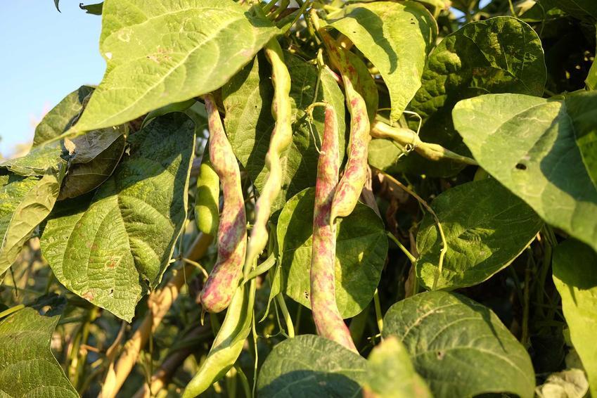 Fasolka szparagowa w ogrodzie i choroby fasolki szparagowej oraz uprawa fasolki szparagowej i sadzenie fasolki szparagowej