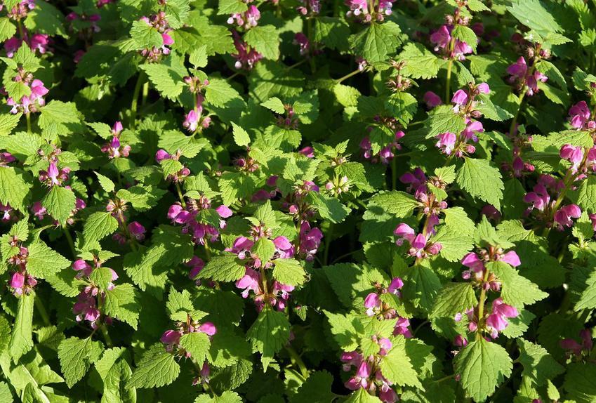 Jasnota purpurowa z łaciny Lamium purpureum oraz jasnota różowa i ich właściwości lecznicze oraz zastosowanie lecznicze