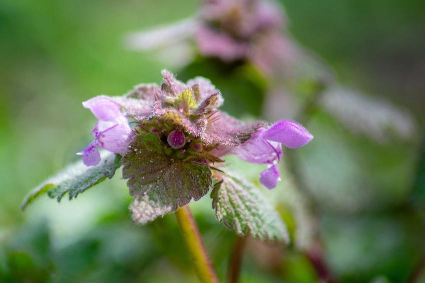 Jasnota purpurowa z łaciny Lamium purpureum oraz jasnota różowa i ich właściwości lecznicze, a także zastosowanie i dawkowanie
