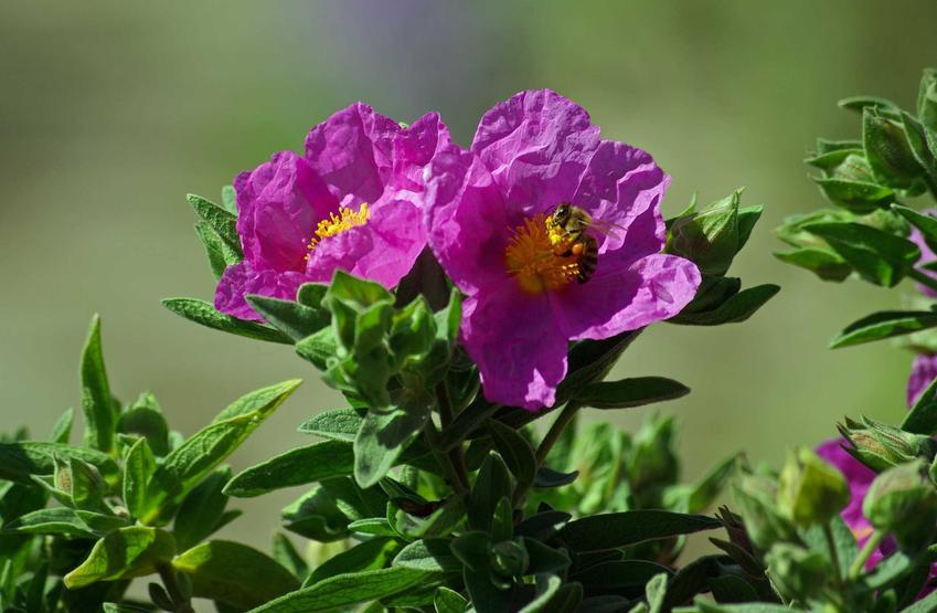 Czystek w czasie kwitnienia i opinie o czystku, czyli na co pomaga czystek i czy ma działanie odchudzające