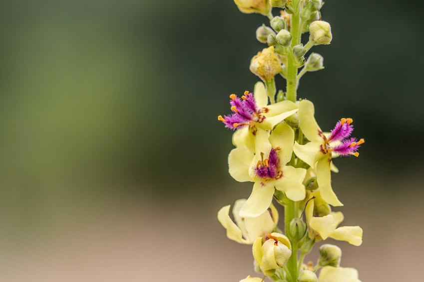 Dziewanna pospolita i zbliżenie kwiat dziewanny w okresie kwitnienia, a także dziewanna wielkokwiatowa czy dziewanna fioletowa i inne odmiany