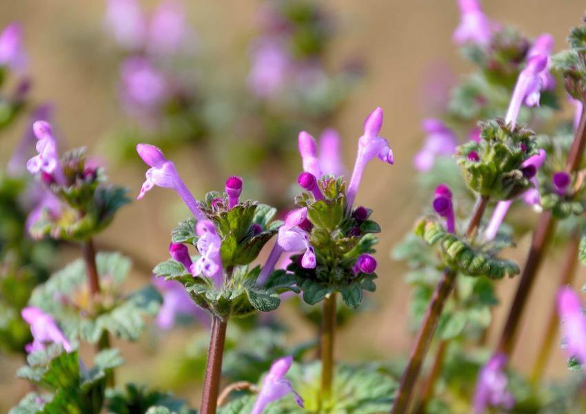 Jasnota różowa z łaciny Lamium amplexicaule oraz jasnota purpurowa i ich właściwości leczniecze oraz zastosowanie