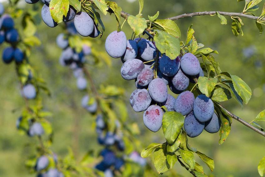 Śliwka węgierka na drzewie oraz śliwa węgierka jako popularne drzewa owocowe i ich uprawa oraz pielęgnacja