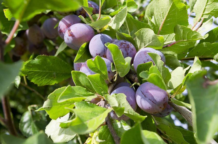 Śliwa Amers dojrzewająca w ogrodzie na drzewi owocowym, czyli węgierka Amers i jej uprawa oraz sadzenie