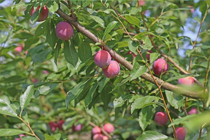 Śliwa japońska, czyli azjatycka odmiana śliwy Prunus salicina oraz jej uprawa i pielęgnacja, sadzenie oraz wymagania w ogrodzie