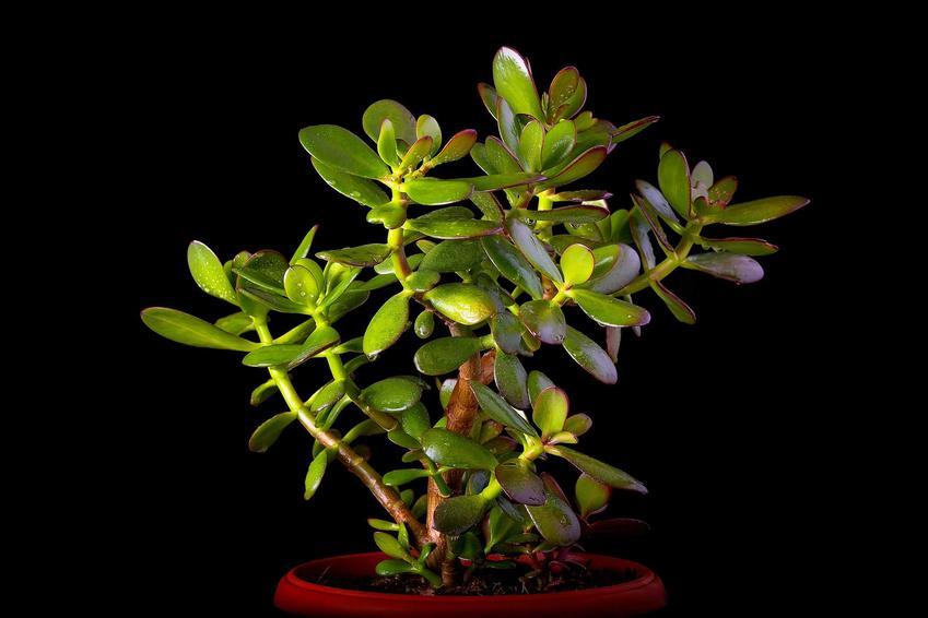 Drzewko szczęścia Crassula ovata, czyli grubisz jajowaty i uprawa i pielęgnacja drzewka szczęścia w doniczce