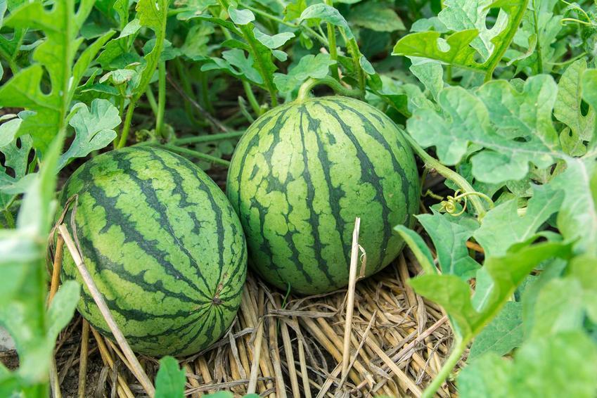Uprawa arbuzów, czyli uprawa arbuza w gruncie oraz porady, jak powinna wygląda hodowla w dogrodzie, stanowisko, pielęgnacja i sadzenie