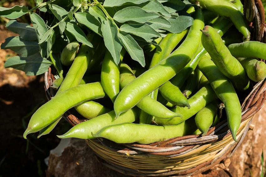 Uprawa bobu w ogrodzie, czyli sadzenie bobu oraz jego hodowla i porady, jak uprawiać bób w ogrodzie krok po kroku