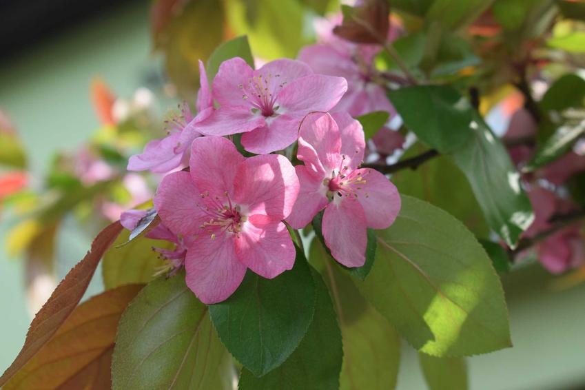 Rajska jabłoń i inne drzewa i krzewy ozdobne polecane do ogrodu oraz polecane drzewka ozdobne w ogrodzie