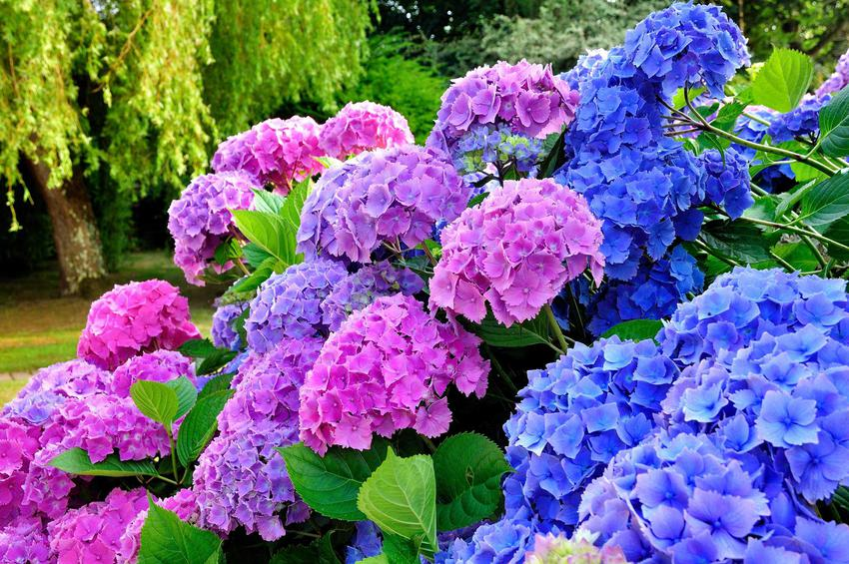 Hortensje, czyli drzewa i krzewy ozdobne najchętniej wybierane do ogrodu oraz polecane drzewka ozdobne