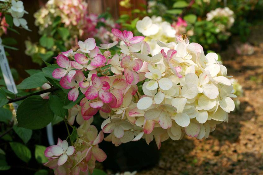 Hortensja bukietowa i odmiany hortensji bukietowej, czyli najpiękniejsze hortensje w ogrodzie i ich odmiany