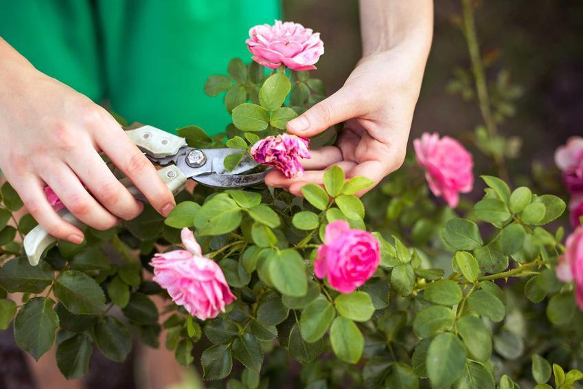 Przycinanie róż, a także róże pnące długo kwitnące oraz róże rabatowe i róże okrywowe i ich uprawa i pielęgnacja