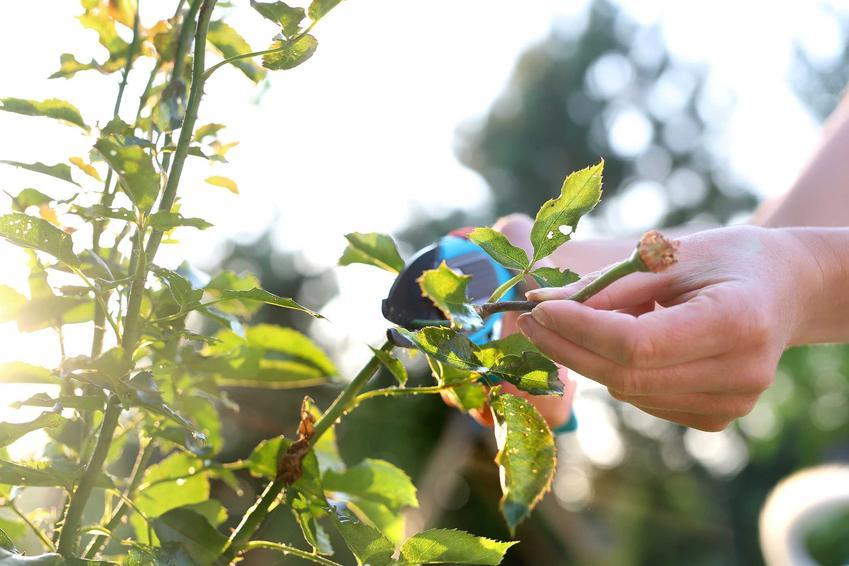 Przycinanie róż, a także odmiany róż i gatunki róż ogrodowych, czyli rodzaje róż do uprawy, na przykład róże długo kwitnące