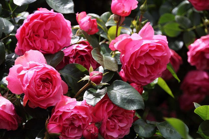 Kwitnący krzew róży, odmiany i gatunki róż ogrodowych, czyli rodzaje róż do uprawy i ich pielęgnacja - porady