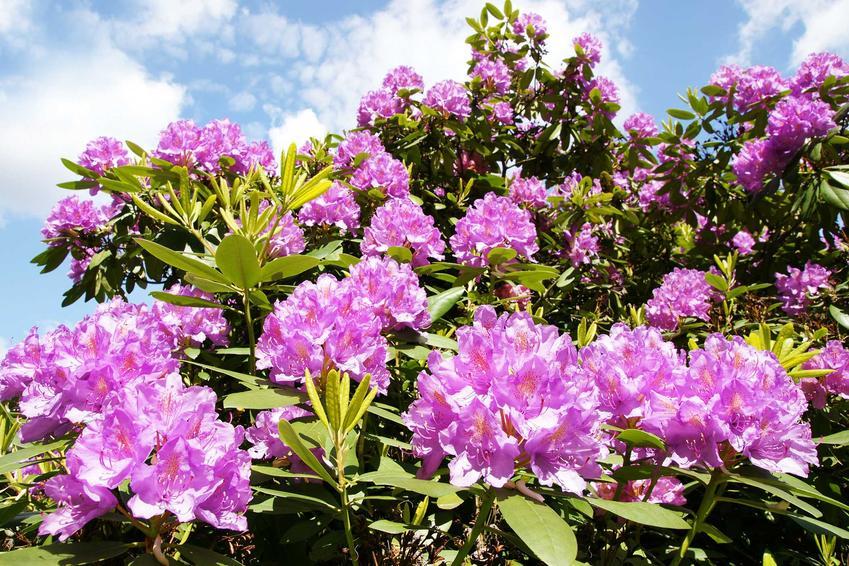 Różanecznik, czyli kwitnące krzewy ogrodowe, w tym krzewy kwitnące wiosną i latem oraz krzewy kwinące od wiosny do jesieni