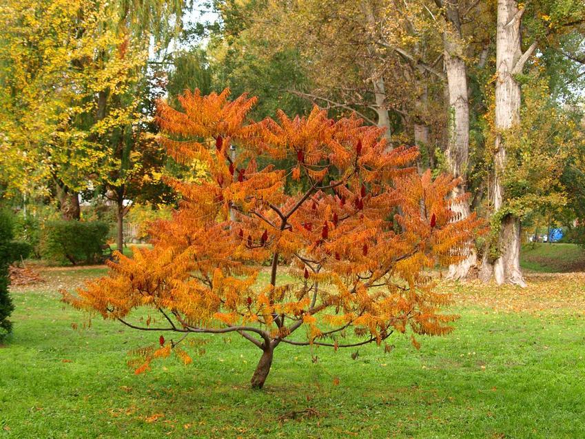 Drzewko sumak octowiec w okresie jesieni oraz jego środowisko, uprawa, pielęgnacja, rozmnażanie, przycinanie i ceny