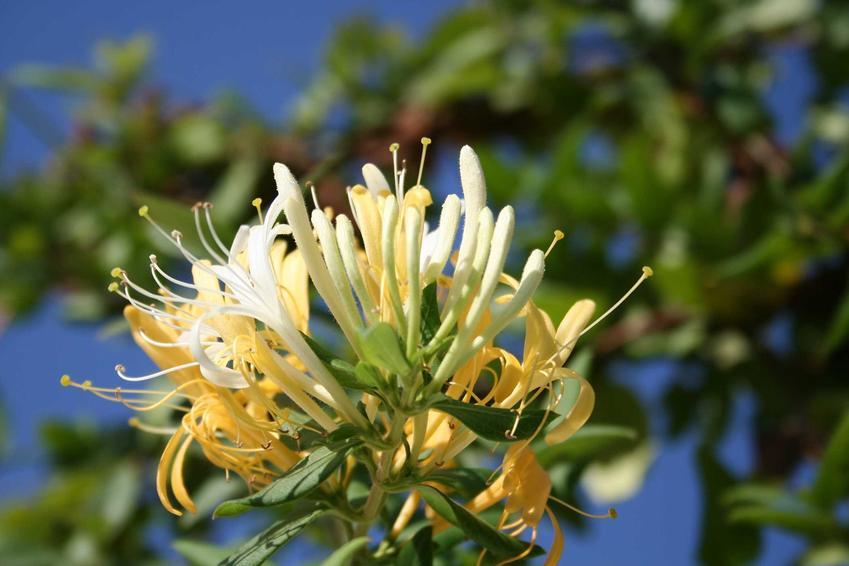 Kwiat wiciokrzewu w czasie kwitnienia oraz polecane wiciokrzewy i ich odmiany, jak na przykład wiciokrzew pomorski czy wiciokrzew japoński