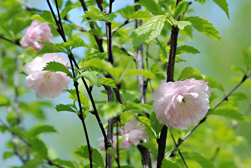 Kwitnący migdałek, czyli drzewa ozdobne do ogrodu i polecane drzewa i krzewy ozdobne, w tym drzewka ozdobne i odmiany