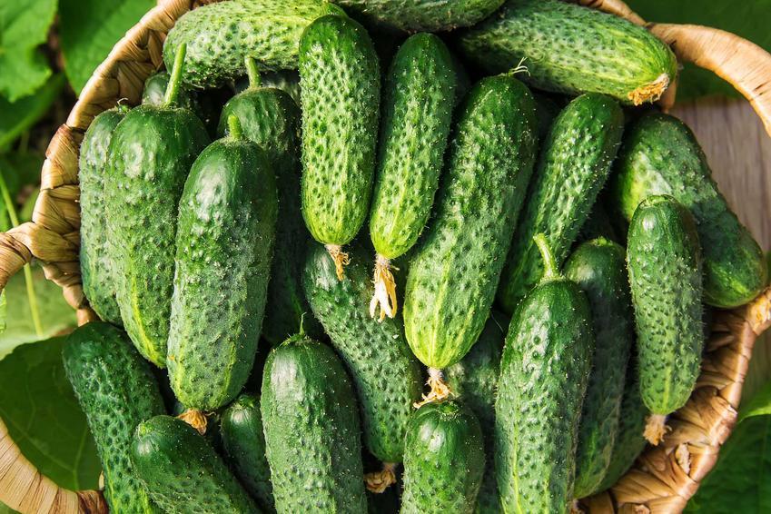 Zebrane ogórki oraz uprawa ogórków gruntowych na działce oraz porady, jak siać ogórki i kiedy sadzić ogórki, a także wysiew ogórków