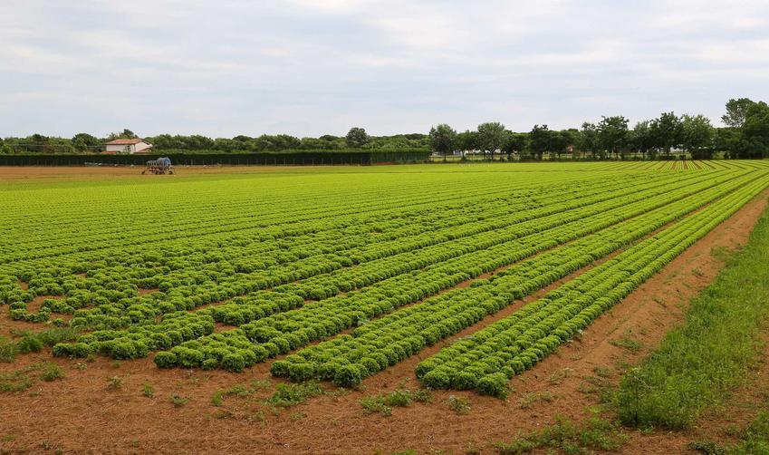 Uprawa sałaty lodowej w ogrodzie, czyli jak uprawiać sałatę lodową, nasiona, rozsady oraz pielęgnacja