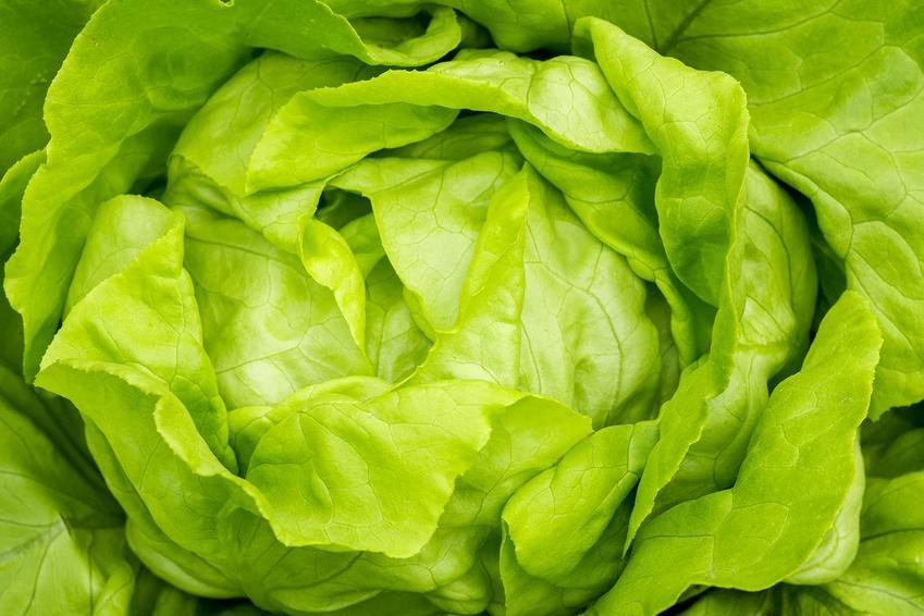 Zobacz, w jaki sposób krok po kroku uprawiać sałatę masłową we własnym ogrodzie, pielęgnacja, wysiew, zbiór, informacje