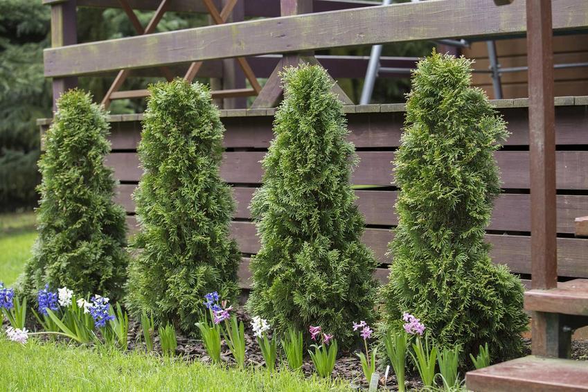 Tuje o zielonych liściach, a także czy tuje są szkodliwe dla zdrowia - toksyczne działanie tui krok po kroku