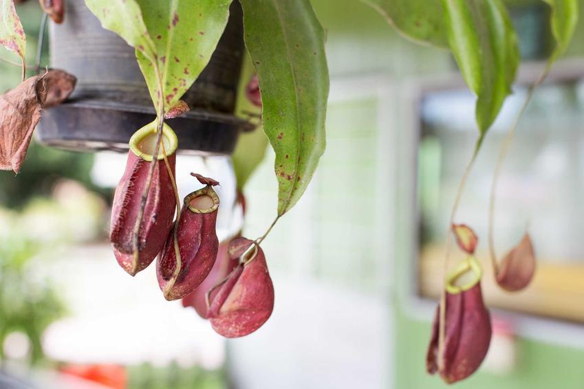 Dzbanecznik, czyli uprawa dzbanecznika oraz uprawa, hodowla, pielęgnacja i rozmnażanie roślin owadożernych - porady