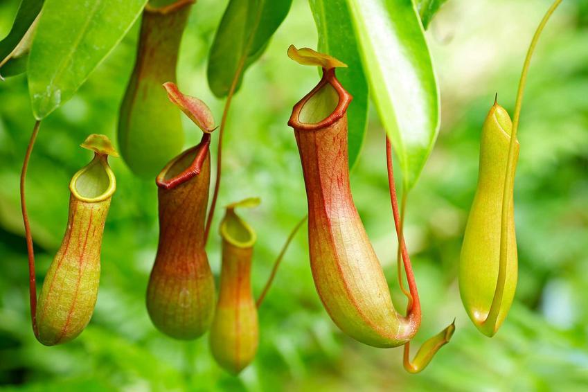 Dzbanecznik, czyli uprawa dzbanecznika oraz odmiany, uprawa, hodowla i rozmnażanie roślin owadożernych - porady
