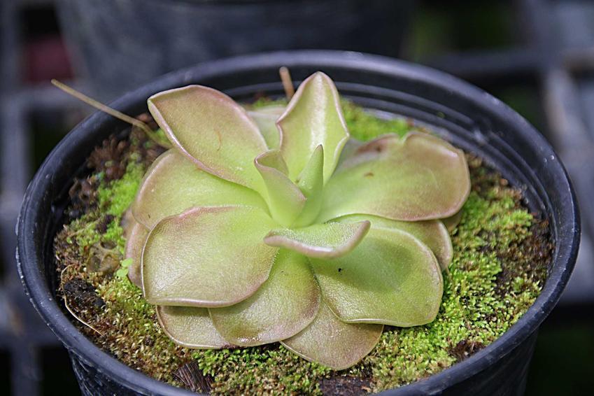 Tłustosz w doniczce Pinguicula o ładnych liściach, a także jego uprawa, pielęgnacja i hodowla roślin owadożernych